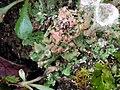 Cladonia pocillum 111495052.jpg