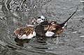 Clangula hyemalis (Long-tailed Duck - Eisente) - Weltvogelpark Walsrode 2012-08.jpg