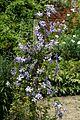 Clematis at Goodnestone Park Kent England 1.jpg