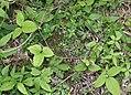 Clematis japonica s7.jpg