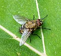 Cluster Fly Calliphoridae (39760645501).jpg
