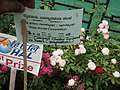 Cluster flowered rose from Lalbagh flower show Aug 2013 8478.JPG