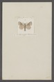 Cnethocampa - Print - Iconographia Zoologica - Special Collections University of Amsterdam - UBAINV0274 056 08 0044.tif