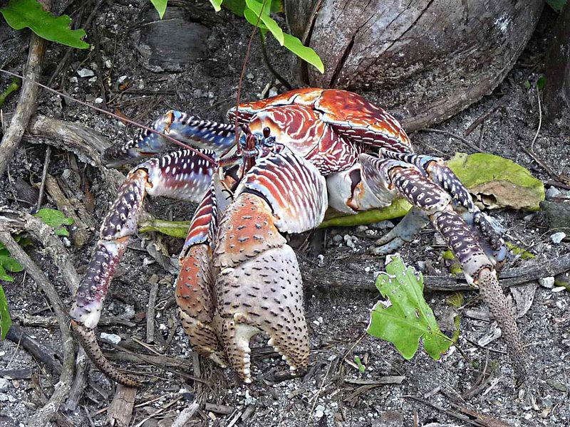 filecoconut crabjpg wikimedia commons