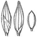 Coleataenia stipitata (as Panicum stipitatum) HC-1935.png