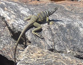 Description de l'image CollaredLizard.jpg.