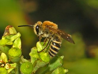 Colletes - Colletes hederae