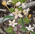 Collomia grandiflora side-head flowers close.jpg