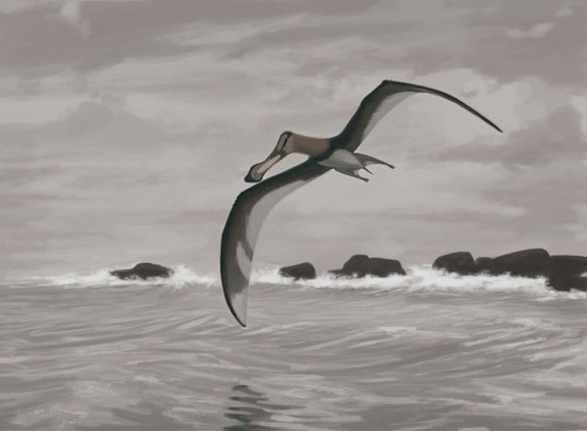 Coloborhynchus piscator jconway.jpg