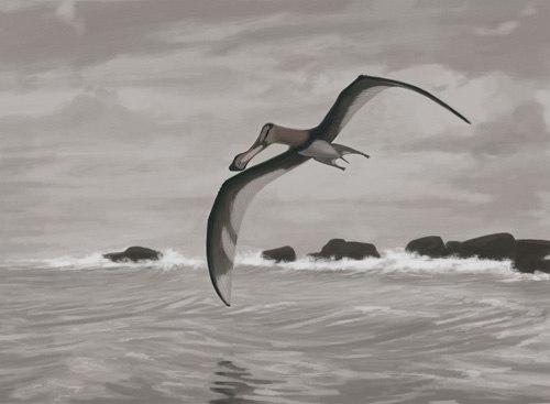 Coloborhynchus piscator jconway