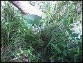 Colocasia esculenta 'Fontanesii' (L.) Schott (AM AK302116-3).jpg