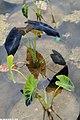 Colocasia esculenta Jenningsii 1zz.jpg
