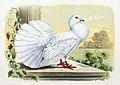 Columba livia domestica 1869.jpg