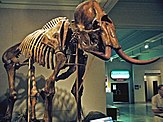 Mammoth skeleton with curved tusks