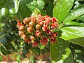 Combretum constrictum - Powderpuff Combretum 2014 (10).jpg