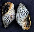 Cominella maculosa 001.jpg