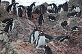 Commom Colony of Penguins IMG 1074.jpg