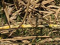 Common Babbler (Turdoides caudata) (33129305116).jpg