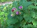Common Burdock with bee (2985446258).jpg