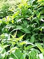 Common Comfrey (Symphytum officinalis), Knook - geograph.org.uk - 1479177.jpg