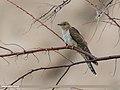 Common Cuckoo (Cuculus canorus) (30020966988).jpg