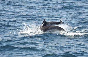 Bay of Gibraltar - Common Dolphins, Gibraltar area