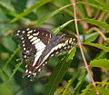 Common Jay (Graphium doson) in Hyderabad, AP W IMG 9175.jpg