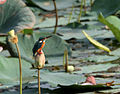 Common Kingfisher (Alcedo atthis)- benghalensis race in an Indian Lotus (Nelumbo nucifera) Pond in Hyderabad, AP W2 IMG 7616.jpg