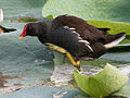 Common Moorhen (Gallinula chloropus) preening in a Nelumbo nucifera (Indian Lotus) pond W IMG 8751.jpg