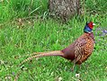 Common Pheasant (Hybride).jpg