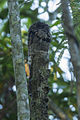 Common Potoo - REGUA - Brazil S4E0774 (12810761313).jpg