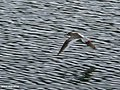 Common Redshank (Tringa totanus) (32341272453).jpg
