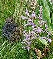 Common Sea Lavender (Limonium vulgare) - geograph.org.uk - 220468.jpg