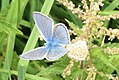 Common blues in cop (NH) (10976001474).jpg