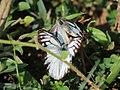 Common gull courtship from Melagiri TN IMG 6184.jpg