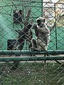 Common langur at the central zoo.jpg