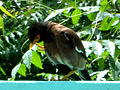 Common myna (Acridotheres tristis) spotted at Madhurawada 03.jpg