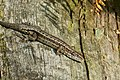 Common or Viviparous Lizard - Lacerta vivipara (39387688664).jpg