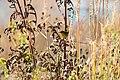 Common yellowthroat (36847591124).jpg