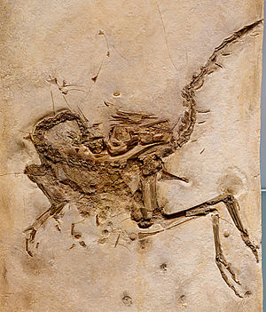 Compsognathidae - The holotype of C. longiceps