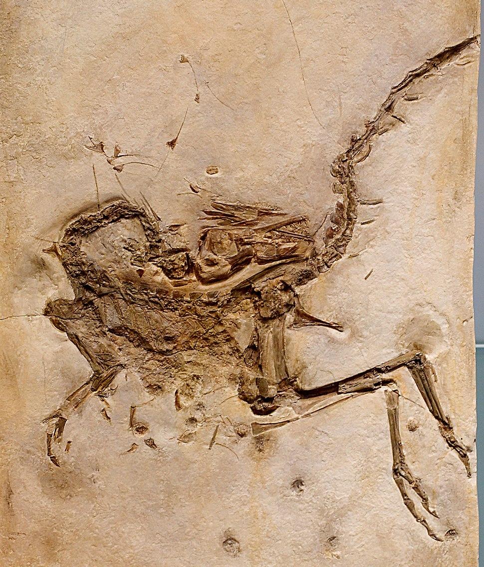 Compsognathus longipes cast 3