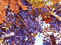 Concord Grapes on vines.jpg