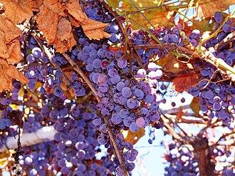 Vitis labrusca - Concord grapes.