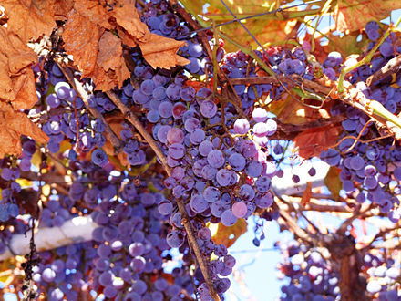 440px-Concord_Grapes_on_vines.jpg