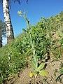 Conringia orientalis sl28.jpg