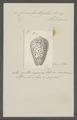 Conus fustigatus - - Print - Iconographia Zoologica - Special Collections University of Amsterdam - UBAINV0274 086 04 0009.tif