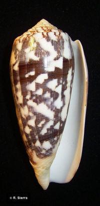 Conus striatus.jpg