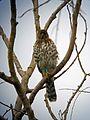 Cooper's Hawk, Accipiter cooperii - Flickr - GregTheBusker (1).jpg