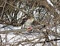 Cooper's hawk feeding on a blue jay 8.jpg