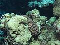 Corals (6159027426).jpg